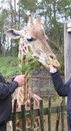 Orana Wildlife Park: Feeding the giraffe's