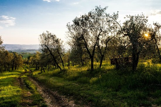 Il Paluffo - Main House B&B: Olive trees