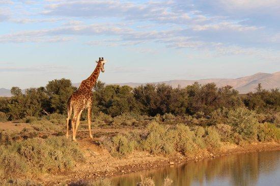 Inverdoorn Game Reserve: giraf