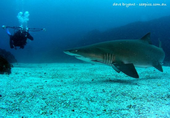 Byron Bay Dive Centre: well known UW Photographer John Natoli with a Grey Nurse
