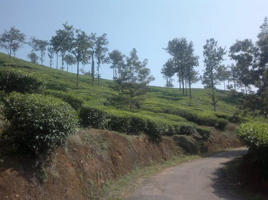 Melvins Homestay : Tea garden in front of the homestay