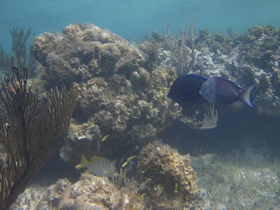 Lagoon Tours Bahamas  - Tours : Schoolmaster (lower left), Blue Tang, and… some kind of Tang?