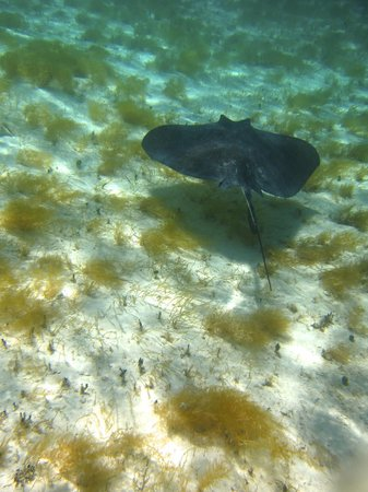 Lagoon Tours Bahamas  - Tours : Southern Stingray (photo taken by leaning out of the boat and sticking my camera under the surfa