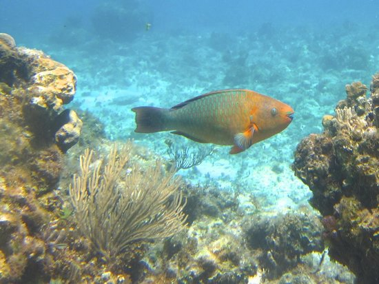 Lagoon Tours Bahamas  - Tours : Rainbow Parrotfish — my first ever!