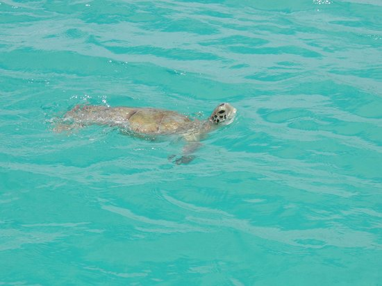 Sugar Cane Club Hotel & Spa : Swimming with turtles, hotel glass bottom boat