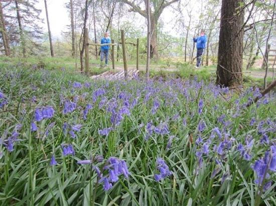 Clychau'r Gog (Blue Bells) in the woods behind Barlings Barn.