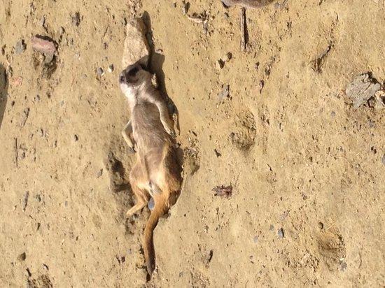 Tropical Wings Zoo: Sunbathing meerkat :)