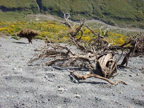 Scalata al Cratere : Genista tyrrhenica am Südrand der Fossa