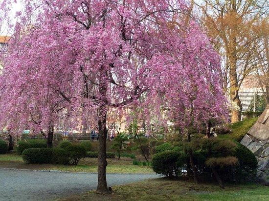 Morioka Castle Ruins : Pink weeping Cherries