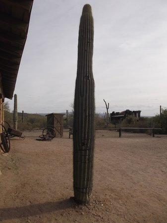Old Tucson: Rocket cactus