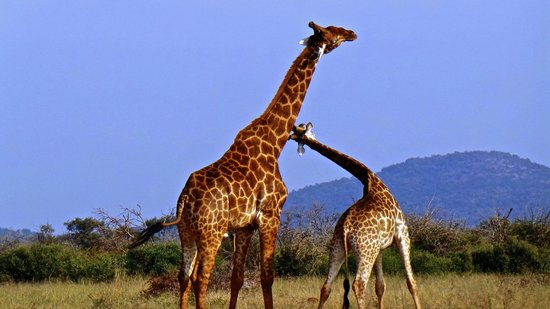 Thakadu River Camp: Two giraffes fighting it out
