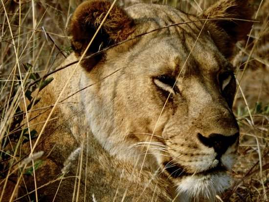 Thakadu River Camp : Lioness in the grass