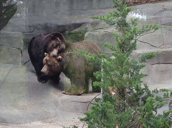 John Ball Zoo: Grizzly Bears