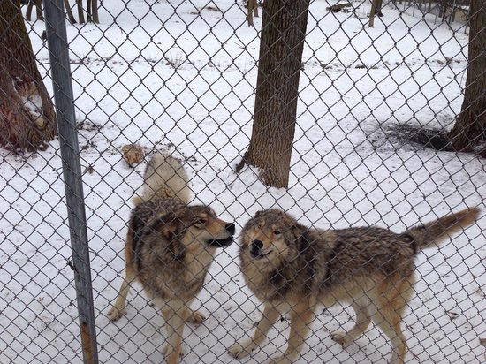Bay Beach Wildlife Sanctuary: Wolves at play