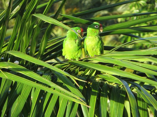 Costa Rica Marriott Hotel San Jose: green parrots