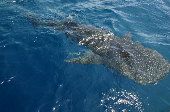 Buena Vista Sportfishing: tiberon ballenas