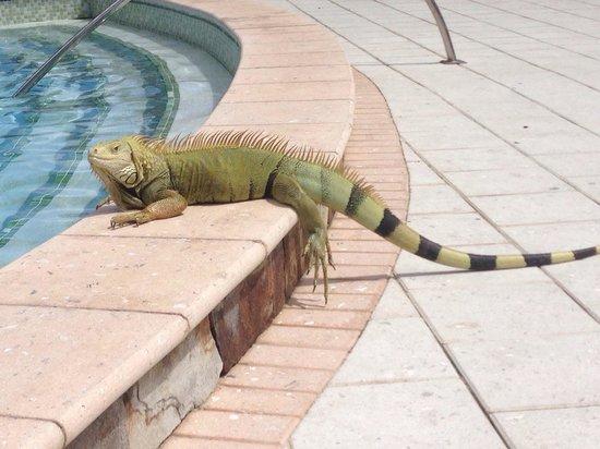 Anse Marcel, Άγιος Μαρτίνος: Iguana by pool