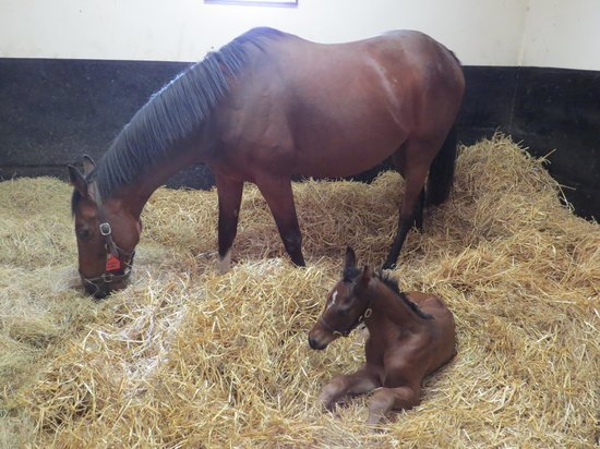 Mount Juliet Estate: new born colt