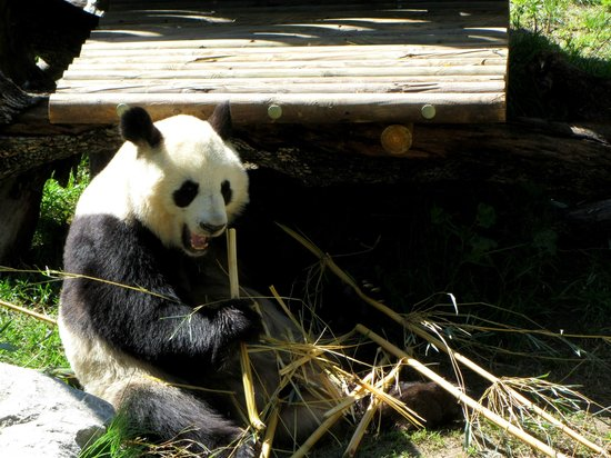 Zoo Aquarium de Madrid : Panda