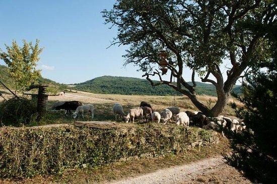 Bouriege, Francia: brebis