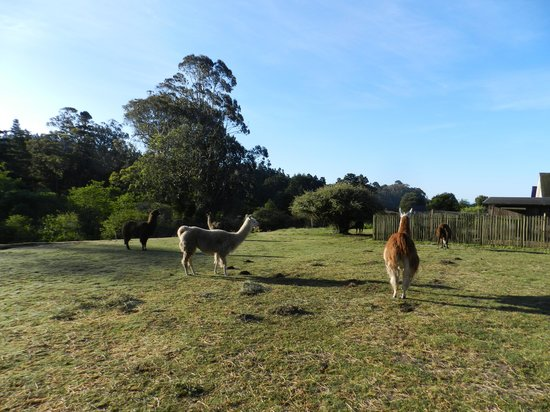 Glendeven Inn Mendocino : Feeding Llamas in the Pasture