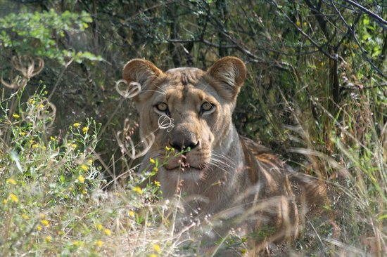 Haina Kalahari Lodge: Lion sighting within minutes from the lodge