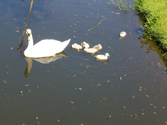 Hever Castle & Gardens: Cygnets - May 2014