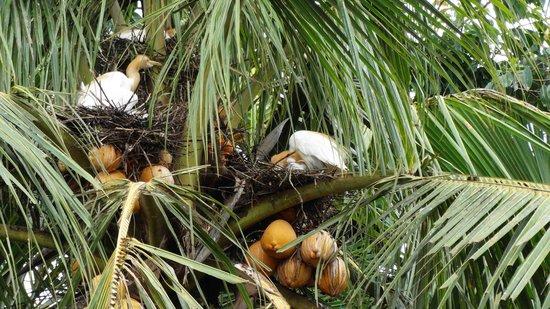 Petulu White Herons : Petulu rice  fields