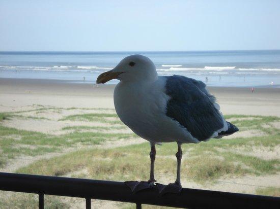 BEST WESTERN Ocean View Resort: Friendly Visitor