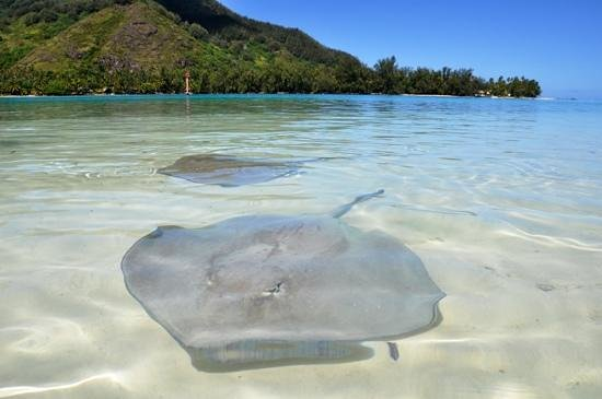 Taoahere Beach House : Sting rays in the water at the private motu, people are padding and feeding them.
