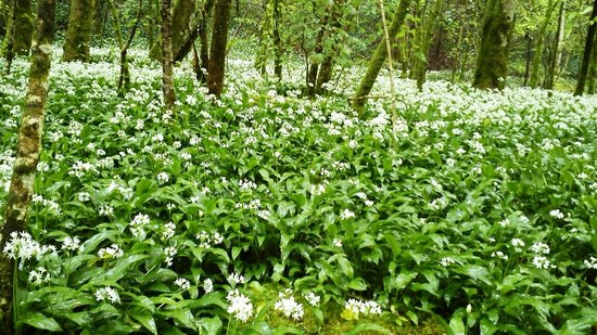 Torrent Walk: Wild garlic