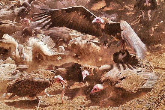 Victoria Falls Safari Club: Daily Vulture Feeding at Vic Falls Safari Club