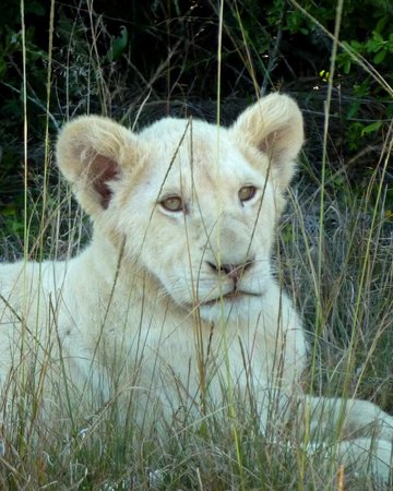 Pumba Private Game Reserve : White Lion Cub