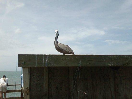 Kure Beach Pier: pelican