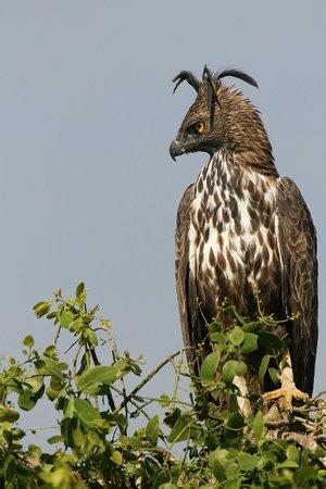 Bundala National Park : Changeable Hawk Eagle at Bundala