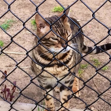 Oaklawn Farm Zoo: Bengal Leopard Cat