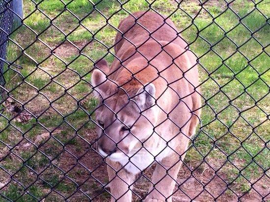 Oaklawn Farm Zoo: Mountain Lion (Bobcat)