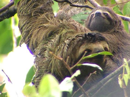 Manuel Antonio Expeditions: Sloths