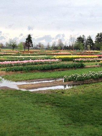 Veldheer Tulip Garden: tulip field
