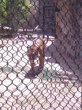Reid Park Zoo : Tiger on Patrol