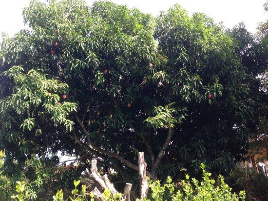Atenas Adventure Hostel: Mango tree
