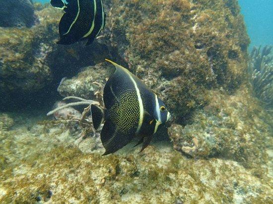 Angel Fish Cove : フレンチエンジェルフィッシュ