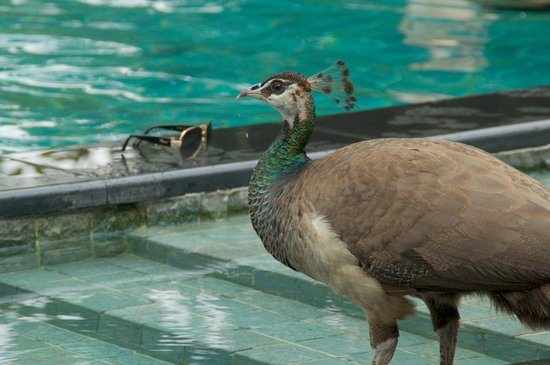 Capella Singapore: プールサイドにクジャクが飛来