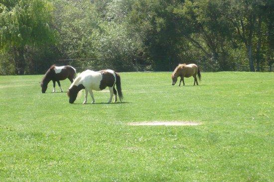 Quicksilver Ranch : Gorgeous miniature horses