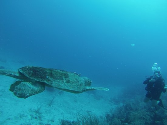 St. George's Caye Resort : Loggerhead Turtle Swimming By