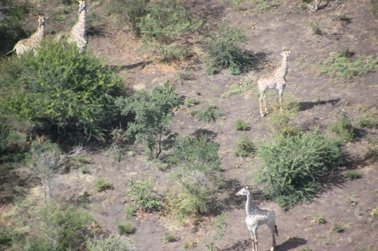 Shearwater Victoria Falls - Helicopter Flights : Giraffe from the air