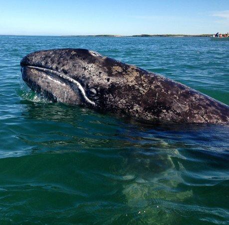 Baja Outdoor Activities (BOA): Mama whale at Magdalena Bay