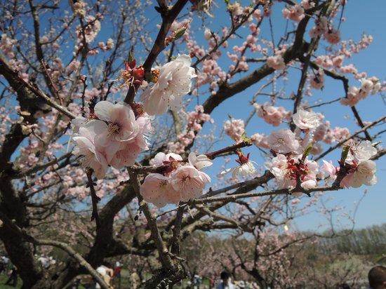 Hiraoka Park: 紅梅