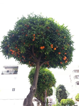 Pierre & Vacances Residenz Torremolinos Stella Polaris: Orange tree lined avenues which lead you into the centre