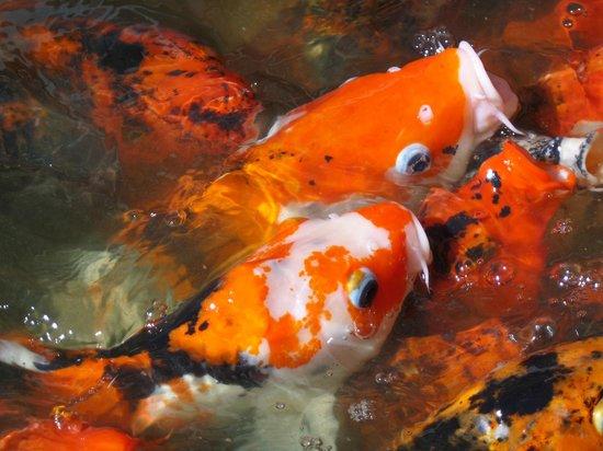 Melia Puerto Vallarta All Inclusive: peces (lago)